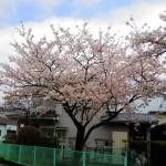 2015年往診中の桜0401