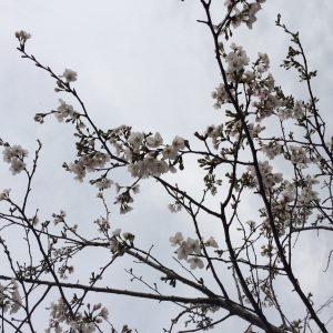 2017公園の桜